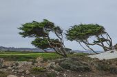 Windblown trees at Pebble Beach Ca.