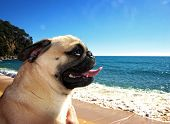 Pug Dog In A Beach