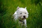 Cure White Westland Terrier Dog
