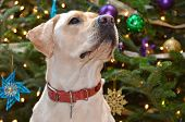 Labrador Retriever posed by Christmas tree