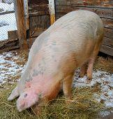 Big Dirty Pig Eating In Pigpen
