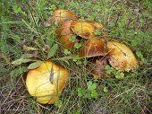 Mushrooms luteus ( Suillus luteus)