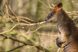 picture of tammar wallaby  - Close - JPG