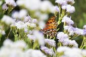 Gulf fritillary butterfly in a Florida field