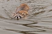 Raccoon (Procyon lotor) Swims Along