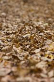Deep Layer Of Withered Fallen Leaves Lying On The Ground