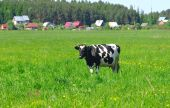 Cow Standing On Meadow