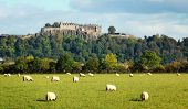 White sheep graze with Stirling castle in background