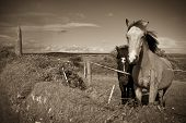 Irish Horses And Ancient Round Tower In Sepia