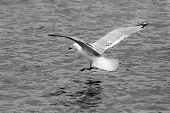 Herring Gull Landing on Water in B&W