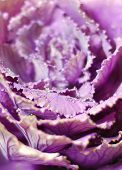 picture of water cabbage  - violet and pink decorative cabbage with water drops