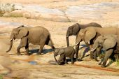 picture of gentle giant  - African Elephants drinking at a river in South Africa - JPG