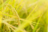 Golden paddy rice farm, closeup image with shallow depth of field.