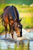 Horse splashing in the water at sunset.