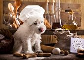 Miniature Schnauzer  in chef's hat, cook puppies