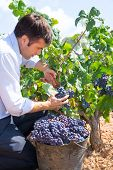 Bobal harvesting with harvester farmer winemaker in Mediterranean