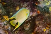 Blue Angelfish Holocanthus Bermudensis 3999_filtered  Russell W Copy