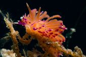 flabellina species nudibranch