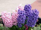 Purple And Pink Hyacinth