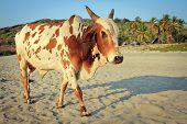 Cow On Beautiful Tropical Beach ,goa, India