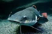 pic of catfish  - Phractocephalus hemioliopterus fish commonly known as redtail catfish - JPG