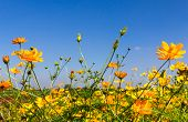 pic of cosmos flowers  - Field of Yellow cosmos flowers in Thailand - JPG