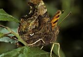 Comma Butterfly Underside