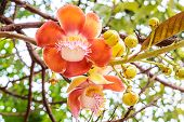 stock photo of cannonball-flower  - Cannonball flower from the tree  - JPG