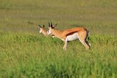 Springbok Peace - Wildlife Background from Africa - Antelopes from Nature