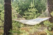 fabric hammock in pine forest