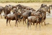 picture of wildebeest  - Wildebeest herd migration in the Masa Mara - JPG