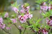 peach blossom bloom in an orchard
