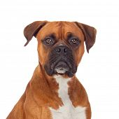 foto of bulldog  - Brown dog bulldog isolated on white background - JPG
