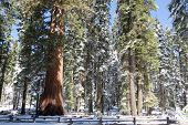 stock photo of sequoia-trees  - Giants Sequoia Grove in the Mariposa area of Yosemite - JPG