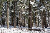 Snowy Grove
