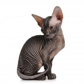 Sphynx Kitten Black Color Isolated On White