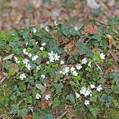 Flowering Wood Sorrel And Ivy On A Dead Trunk