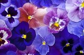 stock photo of viola  - Studio Shot of Blue and Violet Colored Pansy Flowers Background - JPG