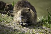 Rodent wild coypu