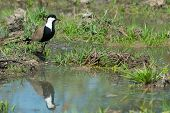 Spur-winged Plover (vanellus Spinosus) Reflected In A Pond Lined With Grass