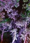 Illuminated In Purple Trees In The Night Park