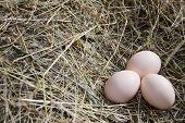 picture of hatcher  - Egg chicken - JPG