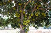 tree with lots of jackfruit awaiting to ripe