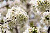 Macro Of Apple Tree Blossoms