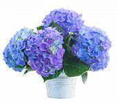 posy   of blue hortensia flowers