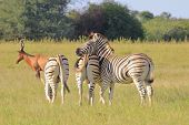 Zebra - Wildlife Background from Africa - Loving Stripes