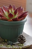 Red Succulent In A Pot