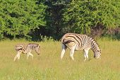 Zebra - Wildlife Background from Africa - Animal Babies and Moms