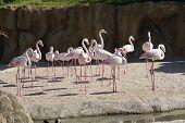Greater Flamingo - Phoenicopterus Antiquorum