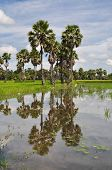 Rice field and the sugar palm
